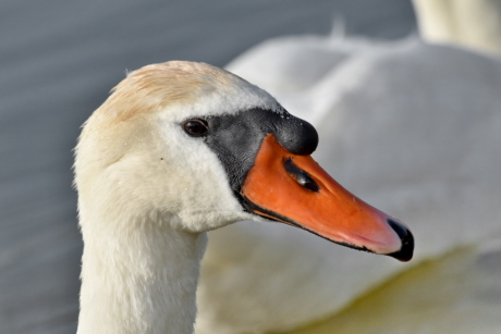 head, looking, swan, waterfowl, wildlife, aquatic bird, bird, nature, outdoors, lake