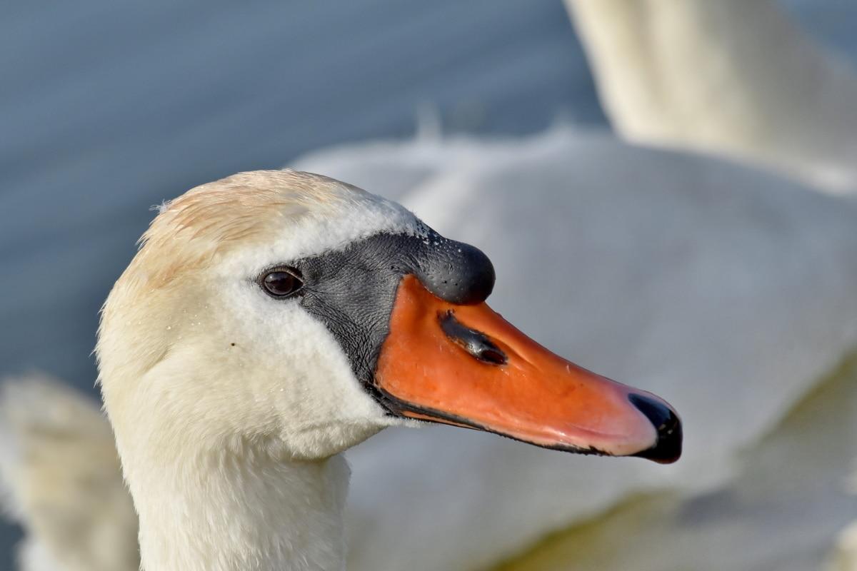Smuk, hoved, svane, fugl, dyreliv, vandfugle, akvatisk fugl, natur, dyr, vand