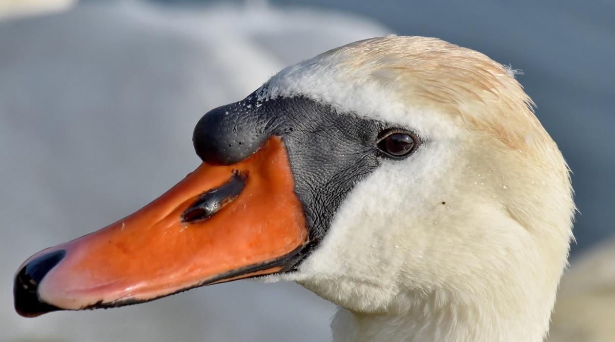beak, feather, portrait, skin, swan, aquatic bird, bird, waterfowl, wildlife, nature