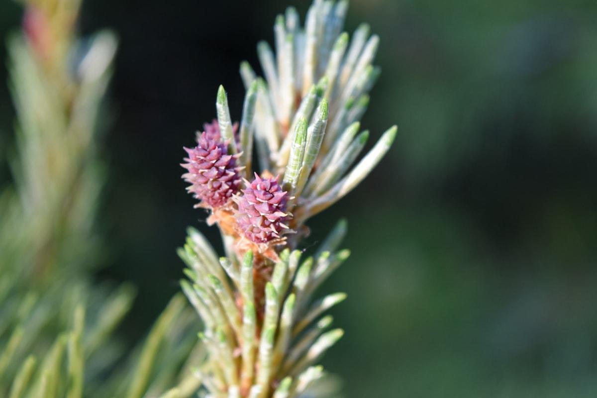 conifers, pine, herb, plant, nature, needle, tree, season, leaf, outdoors