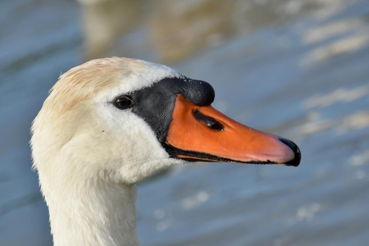 detail, cabeça, Cisne, vida selvagem, ave aquática, aves aquáticas, pássaro, animal, Lago, natureza