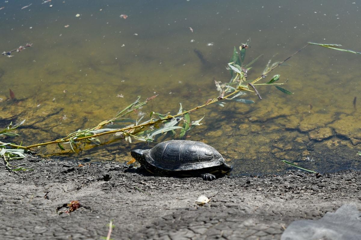 biljni i životinjski svijet, voda, gmaz, priroda, kornjača, jezero, rijeka, plaža, odraz, okoliš
