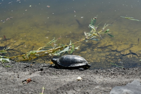 wildlife, water, reptile, nature, turtle, lake, river, beach, reflection, environment