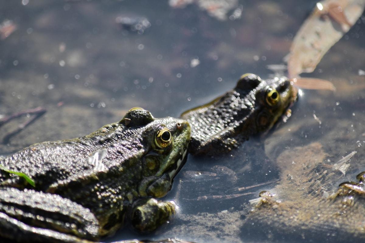rãs, pântano, água, olho, anfíbios, sapo-boi, vida selvagem, réptil, sapo, natureza