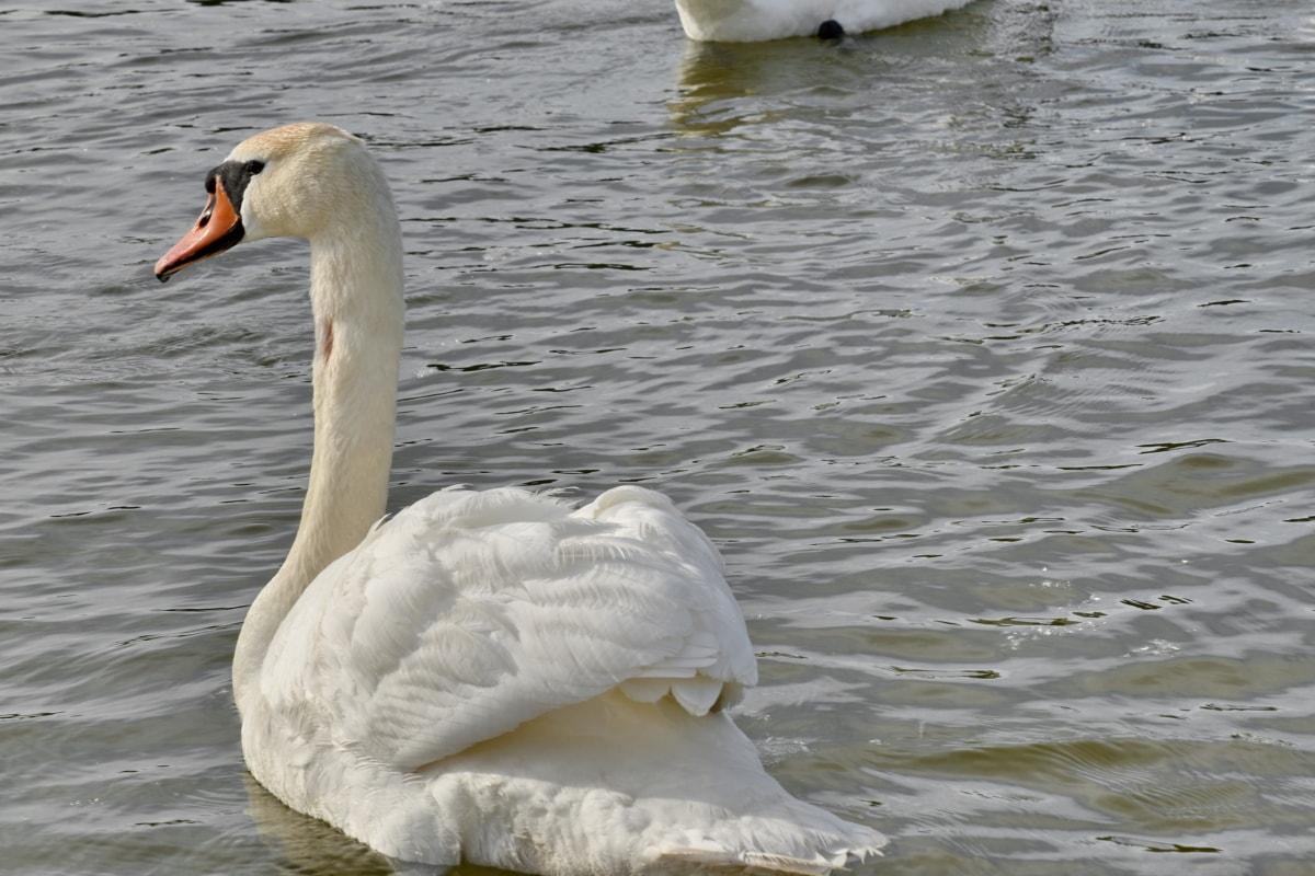 Lago, Cisne, ave aquática, água, pássaro, aves aquáticas, natureza, natação, piscina, vida selvagem