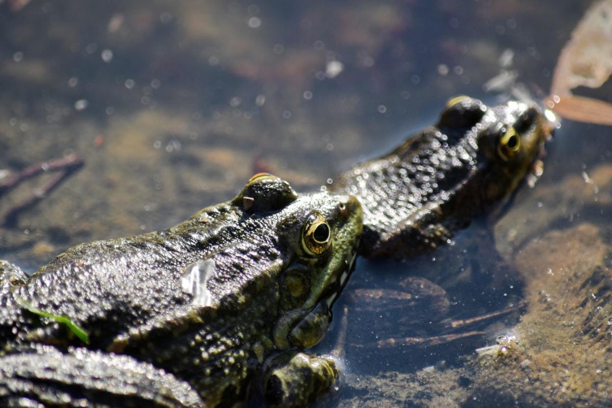 파충류, 야생 동물, 개구리, 수 륙 양용, 눈, 물, 큰 개구리, 자연, 강, 동물