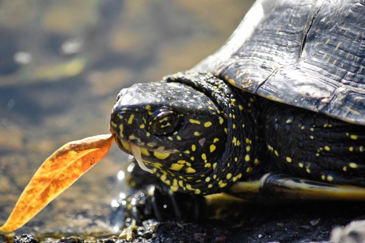 head, reptile, turtle, water, tortoise, nature, wildlife, pool, animal, amphibian