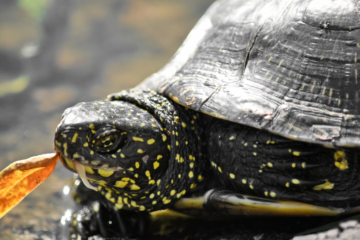 amphibia, reptile, tortoise, turtle, wildlife, nature, animal, water, head, old