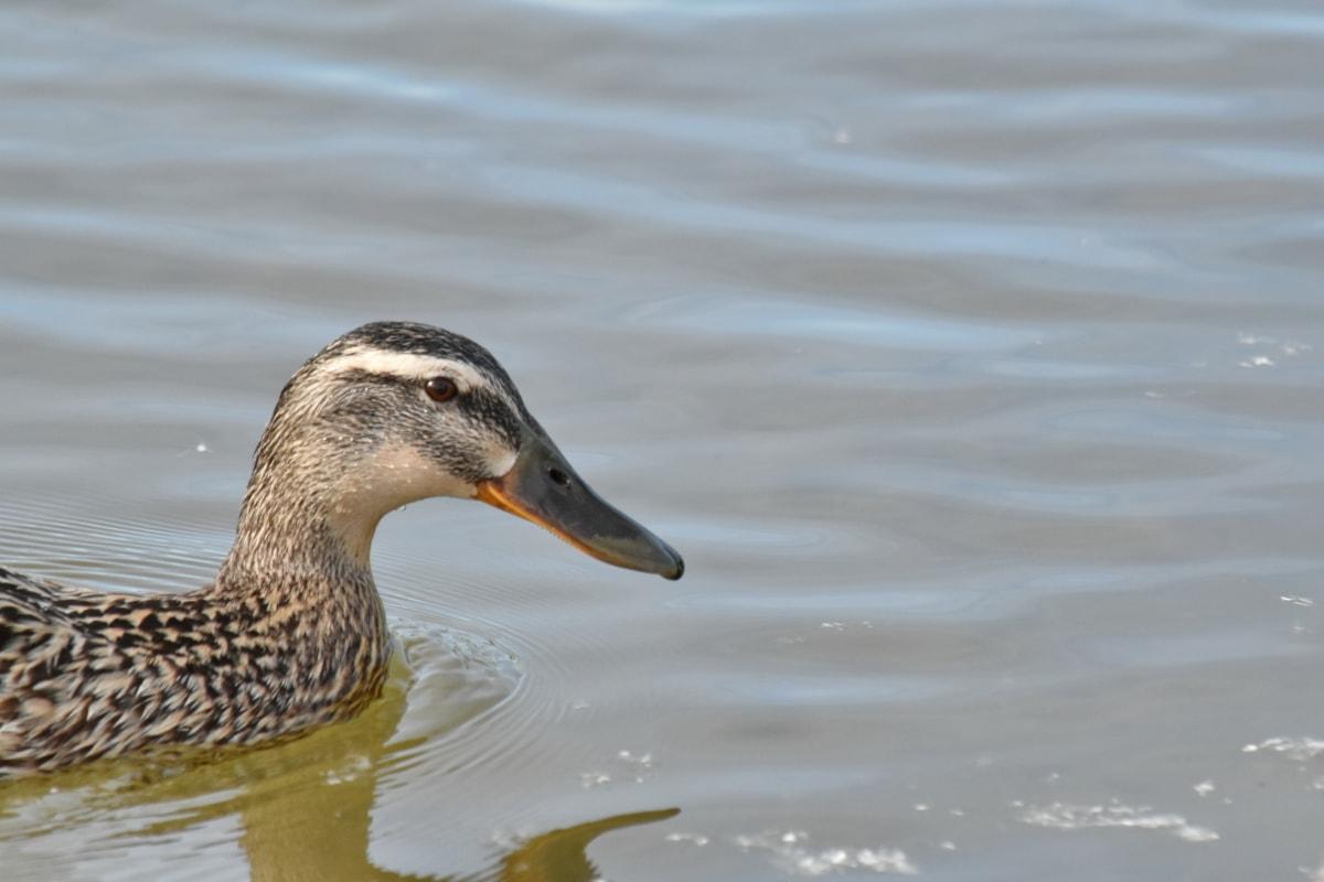 Pato-real, pássaro da costa, pássaro, pato, ave, água, vida selvagem, Lago, aves aquáticas, aves de capoeira