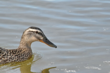 mallard, shorebird, bird, duck, wading bird, water, wildlife, lake, waterfowl, poultry