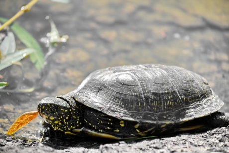 reptile, nature, Tortue, eau, animal, Tortue, faune, piscine, aquatique, amphibiens