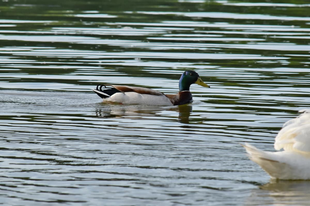 duck bird, waterfowl, water, pond, wildlife, bird, lake, duck, poultry, mallard