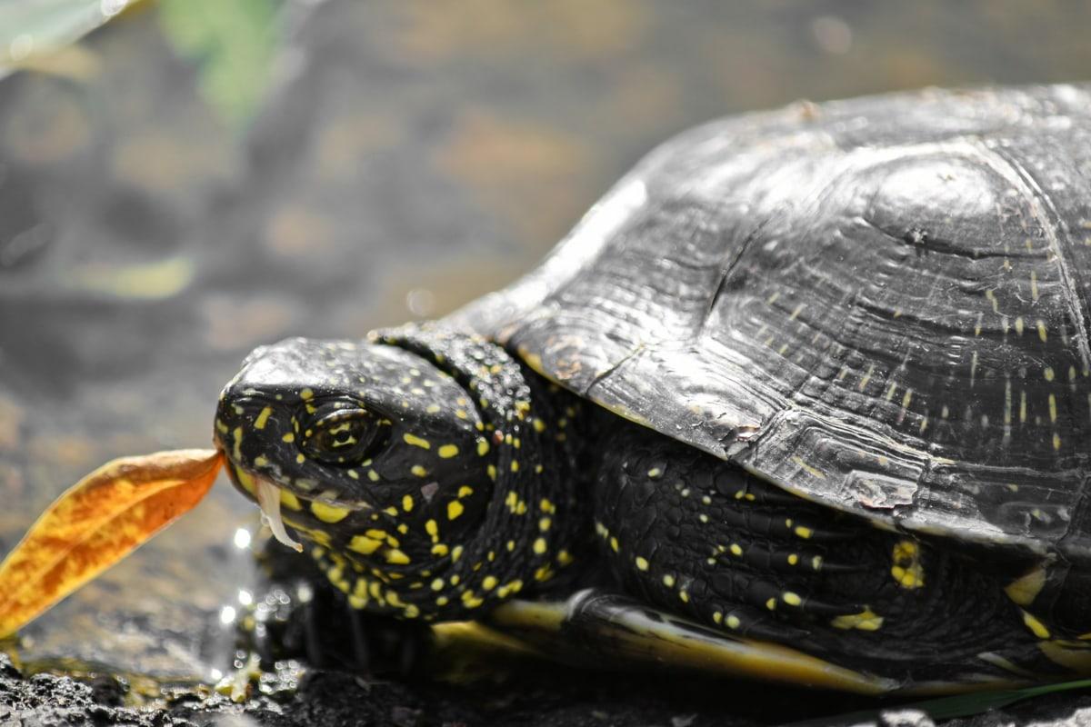 faune, Tortue, Tortue, reptile, nature, eau, animal, amphibiens, armure, Bouclier