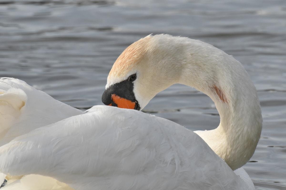 αυχένα, φτερά, πουλί, Κύκνος, ράμφος, νερό, υδρόβια πτηνά, φτερό, υδρόβιων πουλιών, άγρια φύση