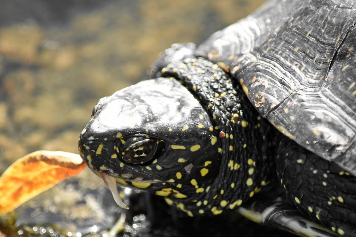 reptile, tortoise, turtle, nature, wildlife, water, animal, armor, aquatic, amphibian