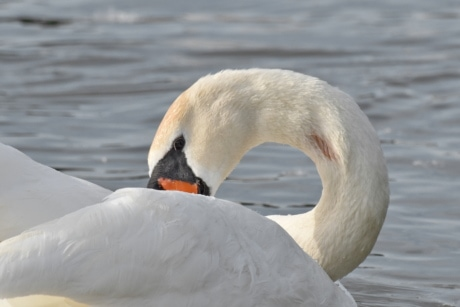 neck, waterfowl, swan, water, wildlife, aquatic bird, bird, beak, lake, nature