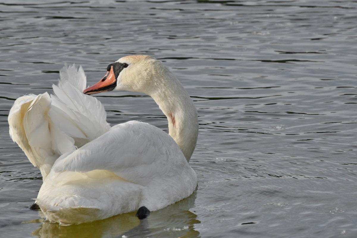 pierko, labuť, plávanie, krídla, vodné vtáctvo, voda, jazero, Vodné vták, vták, bazén