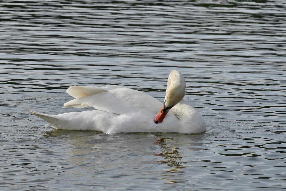 waterfowl, water, lake, bird, aquatic bird, swan, wildlife, pool, nature, duck