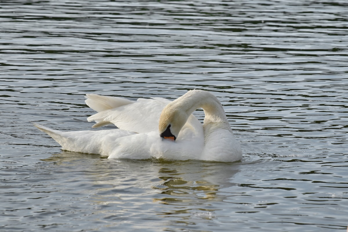 feather, swan, swimming, wings, bird, water, wildlife, aquatic bird, lake, waterfowl