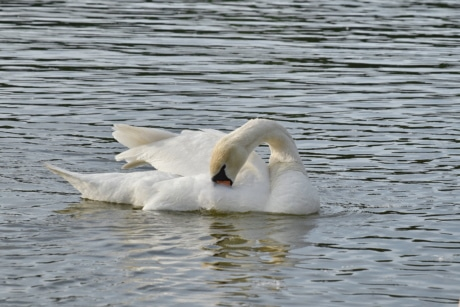 feather, swan, swimming, wings, bird, water, wildlife, aquatic bird, lake, waterfowl