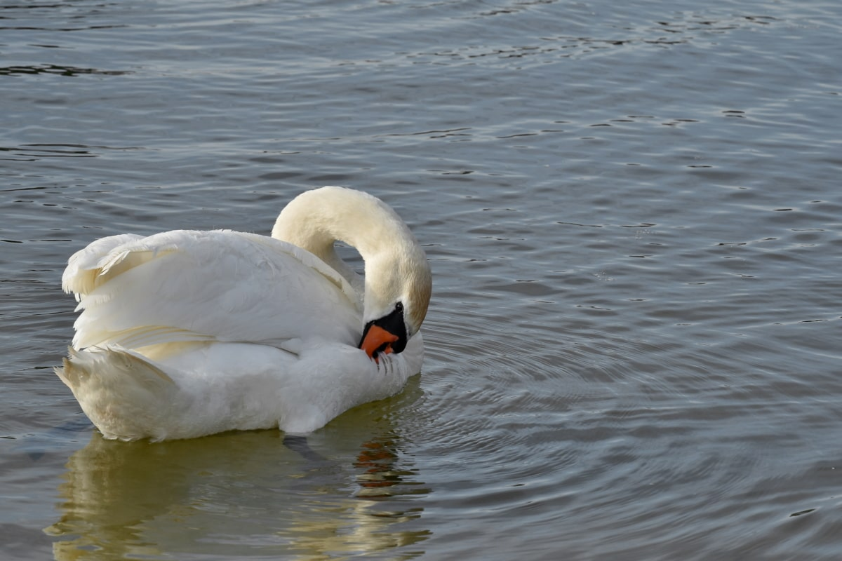 lake, swan, swimming, aquatic bird, bird, beak, water, waterfowl, wildlife, pool