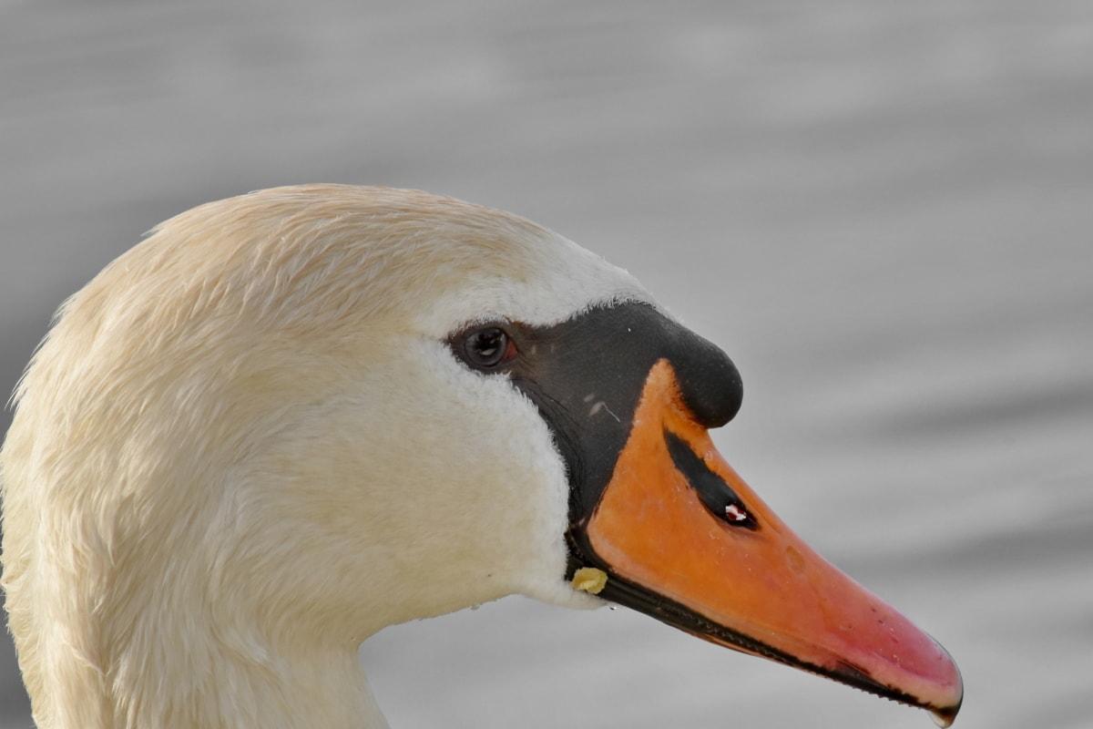 喙, 详细信息, 侧面视图, 天鹅, 水禽, 鸟, 羽毛, 野生动物, 水生鸟, 水