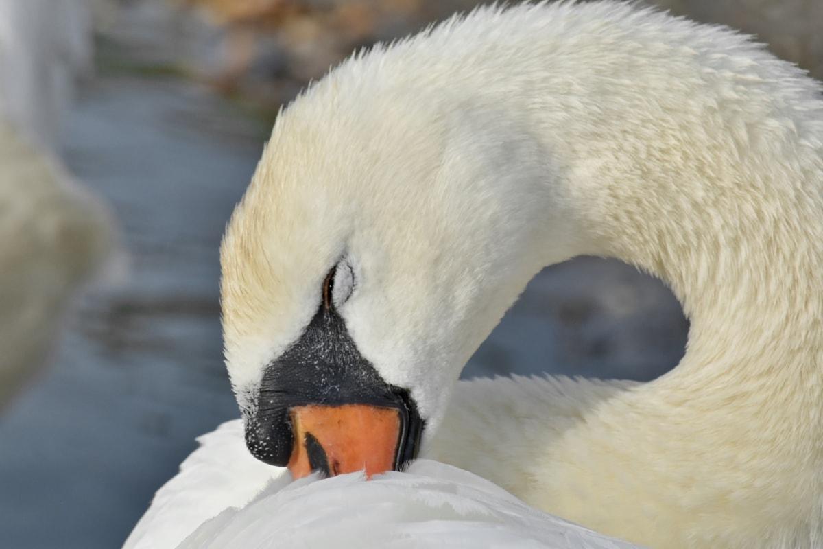 aquatic bird, beautiful, feather, neck, swan, bird, wildlife, nature, water, animal