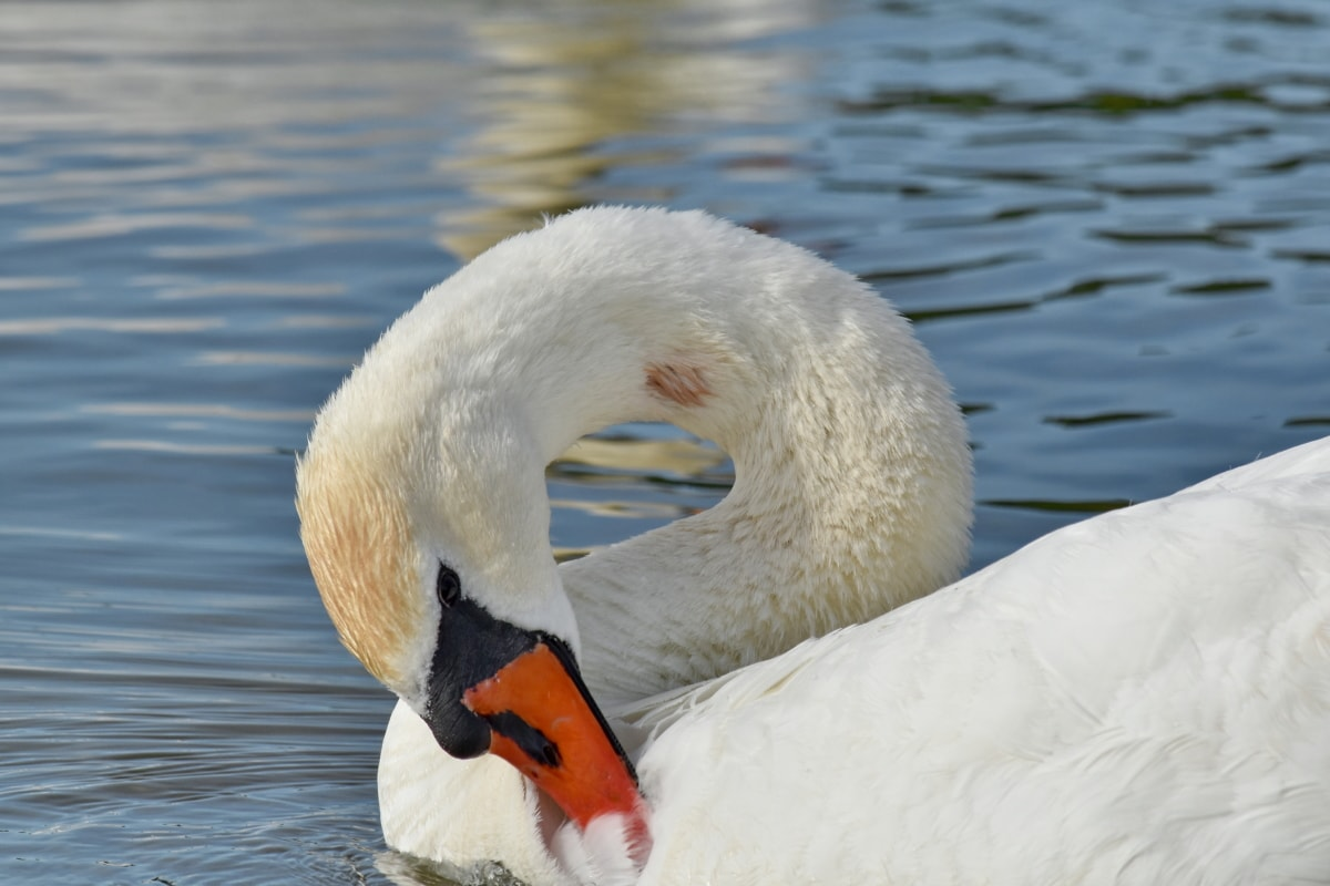 swan, lake, water, waterfowl, bird, beak, aquatic bird, wildlife, swimming, pool