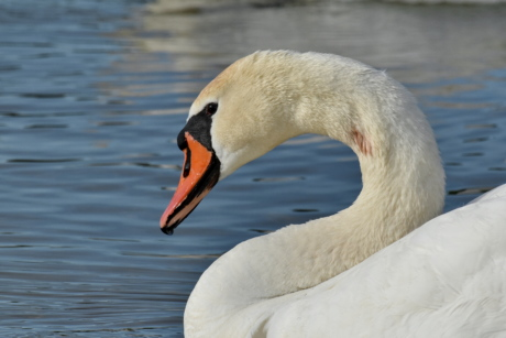 pretty, swan, aquatic bird, wildlife, waterfowl, water, beak, bird, lake, nature