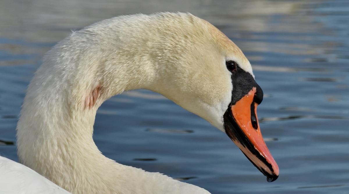 น้ำ, สัตว์ป่า, ปีก, นก, หงส์, นกน้ำ, ทะเลสาบ, ธรรมชาติ, ว่ายน้ำ, สัตว์