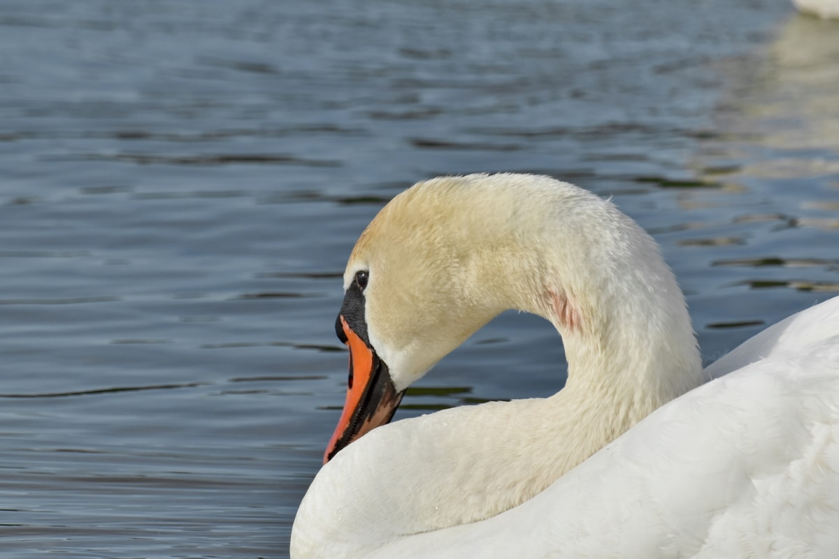 neck, swan, wilderness, animal, aquatic bird, avian, beak, bird, birds, coast