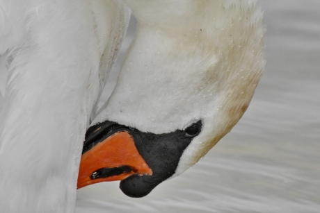 feather, head, swan, wet, aquatic bird, goose, bird, waterfowl, beak, wildlife