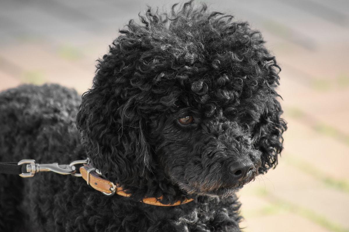 svart, nysgjerrig, Curling, hunden, hjørnetann, stående, dyr, morsom, utendørs, natur