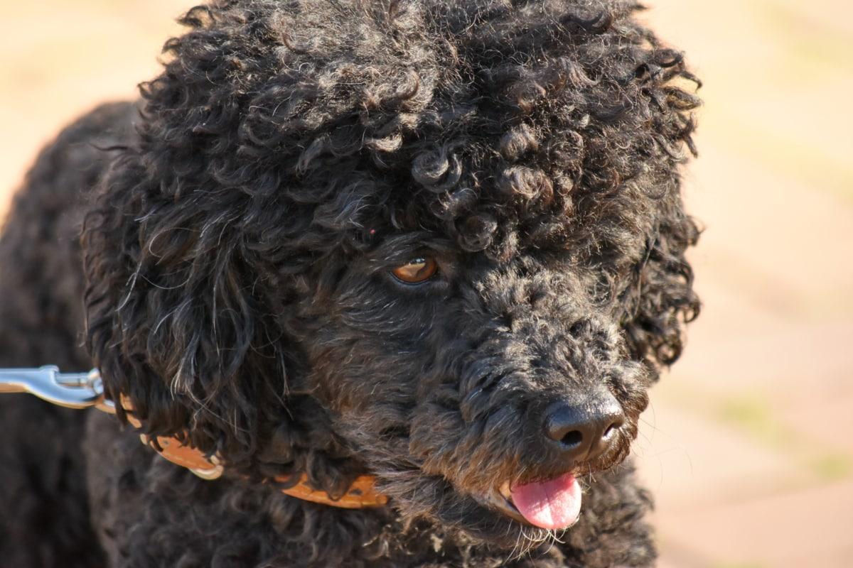 สุนัข, มีความสุข, หัว, แนวตั้ง, ลิ้น, สุนัข, กิจกรรมกลางแจ้ง, สัตว์, ธรรมชาติ, ตามฤดูกาล