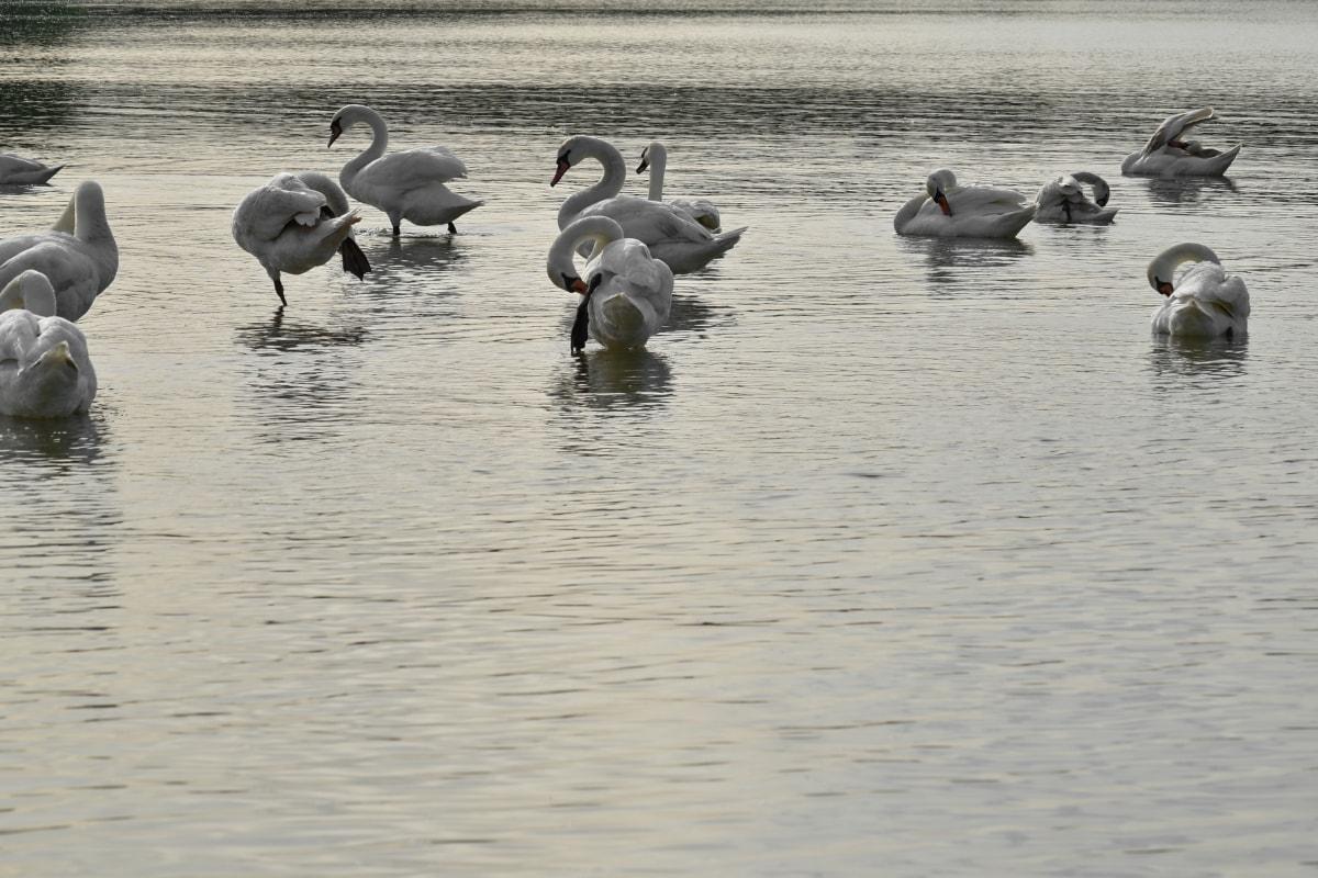 rebanho, aves aquáticas, água, pássaro, vida selvagem, ave aquática, Cisne, natação, Lago, reflexão