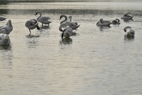 flock, waterfowl, water, bird, wildlife, aquatic bird, swan, swimming, lake, reflection