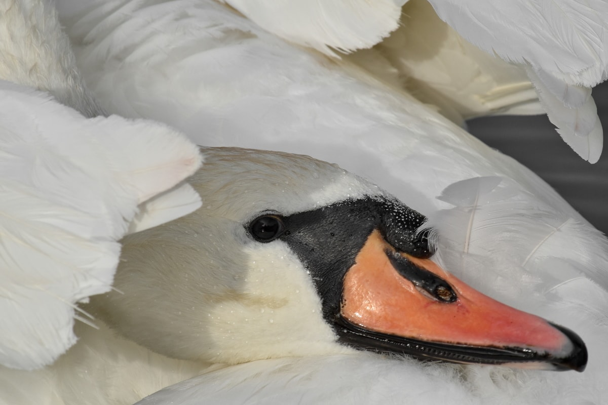 beak, eye, feather, head, looking, bird, swan, water, daylight, nature