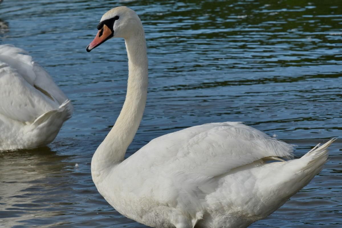 bom tempo, ornitologia, Lago, ave aquática, pássaro, Cisne, bico, aves aquáticas, água, pena
