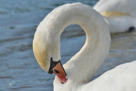 neck, swan, beak, bird, waterfowl, nature, aquatic bird, water, lake, wildlife