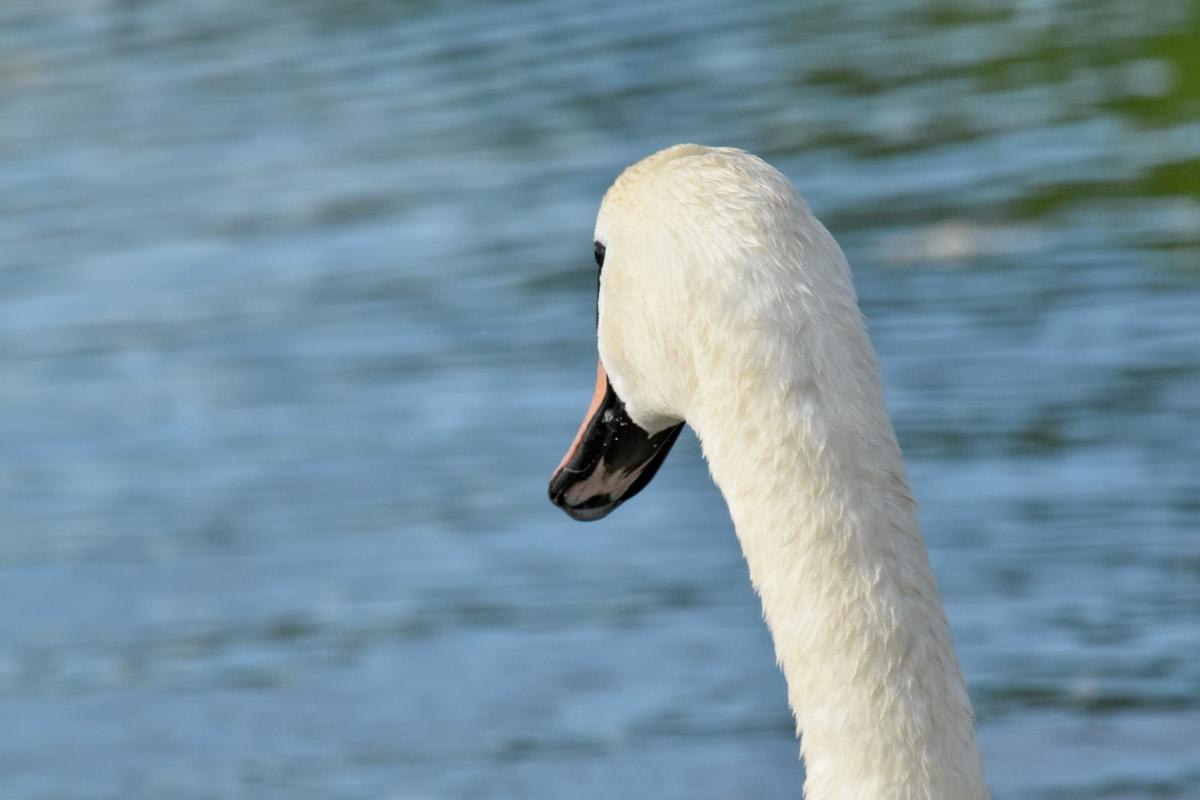 脖子, 侧面视图, 水生鸟, 水禽, 天鹅, 鸟, 野生动物, 喙, 水, 湖