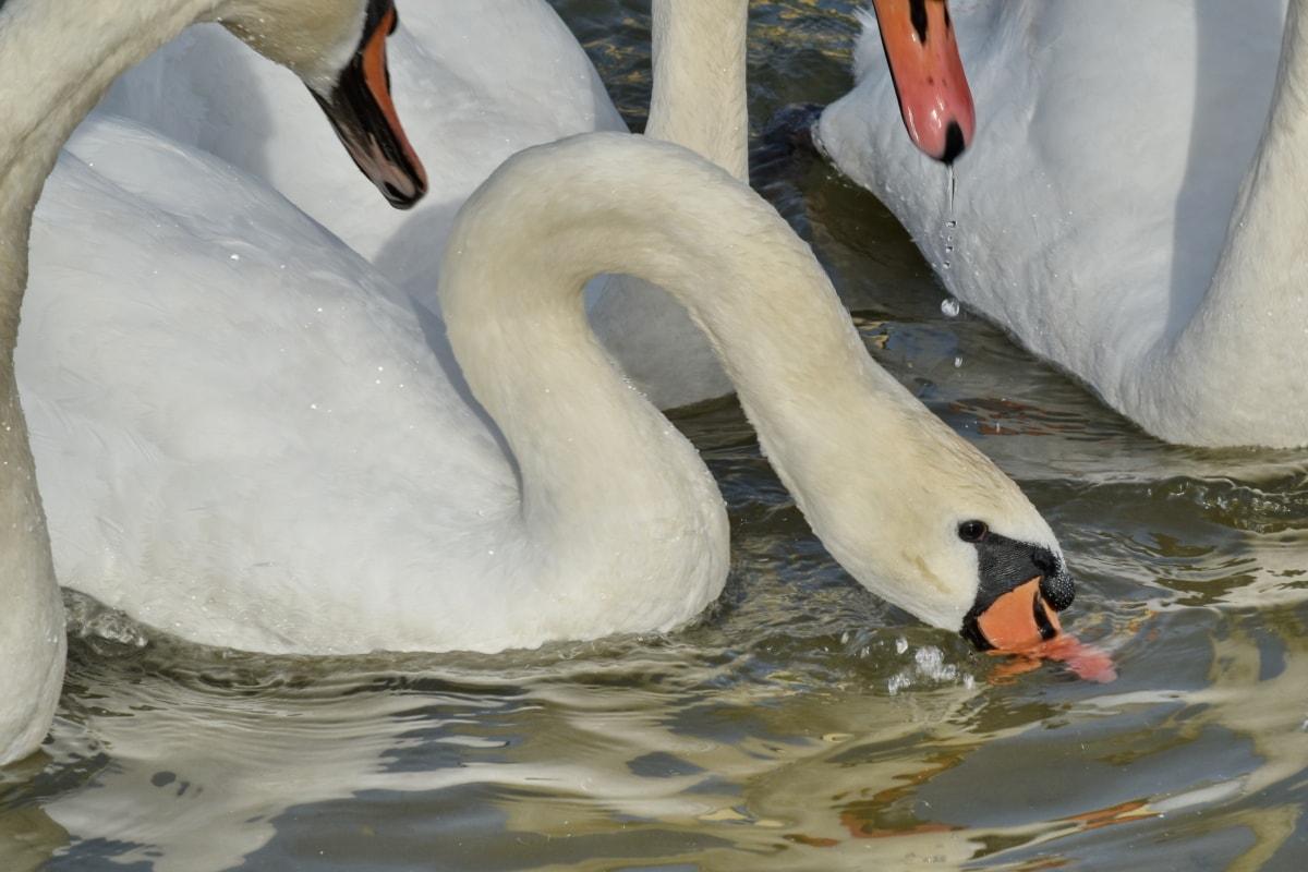 ครอบครัวนก, นก, ฝูง, หงส์, ทะเลสาบ, นกน้ำ, นก, น้ำ, ปีก, สัตว์ป่า