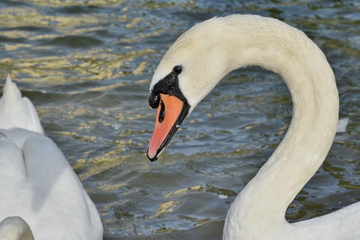 nokka, joutsen, vesilinnut, lintu, eläintiede, sulka, vesi, järvi, Luonto, joki