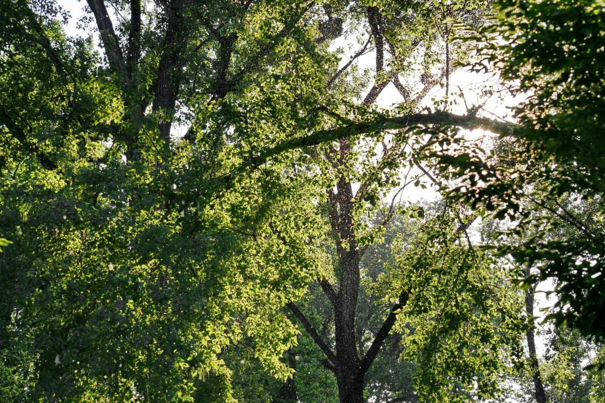 forest, sunrays, sunshine, park, nature, foliage, wood, tree, plant, leaf