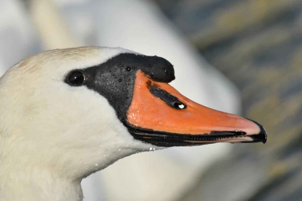 beak, portrait, side view, swan, aquatic bird, bird, outdoors, wildlife, water, nature