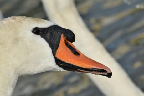 head, looking, skin, swan, wet, waterfowl, wildlife, bird, aquatic bird, beak