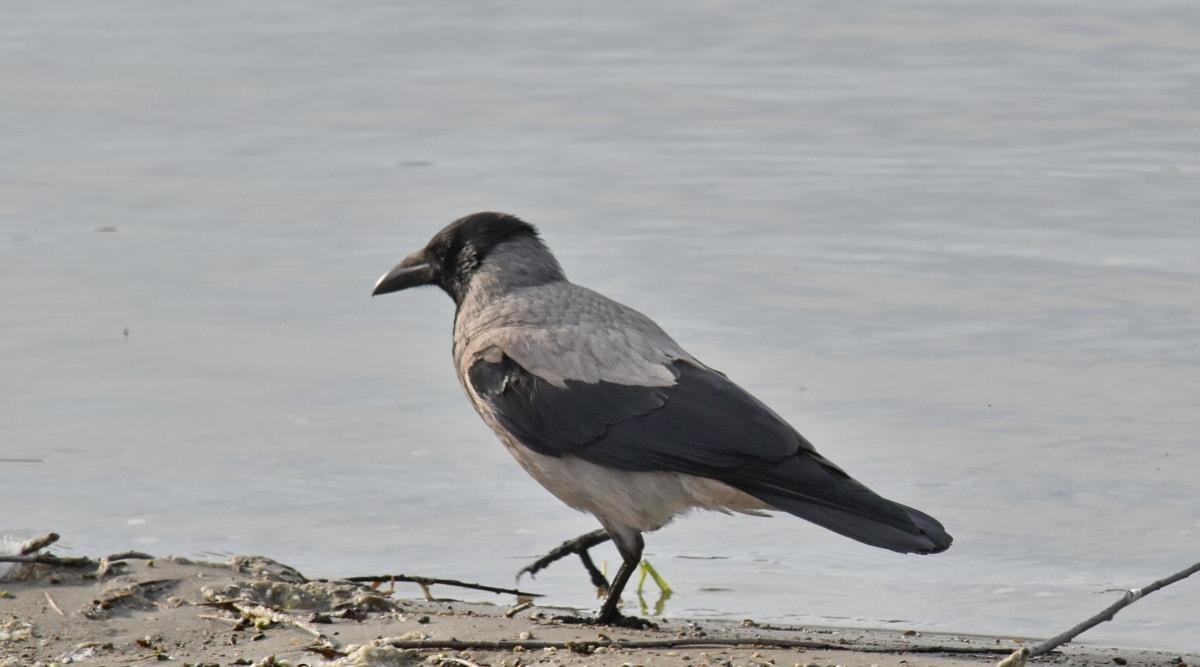 oiseau, Couronne, en détail, gris, berge, bec, faune, panache, nature, eau