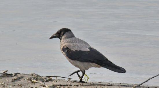 Vogel, Krone, Detail, grau, Flussufer, Schnabel, Tierwelt, Feder, Natur, Wasser