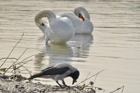 crown, ornithology, riverbank, swan, aquatic bird, bird, lake, waterfowl, wildlife, water