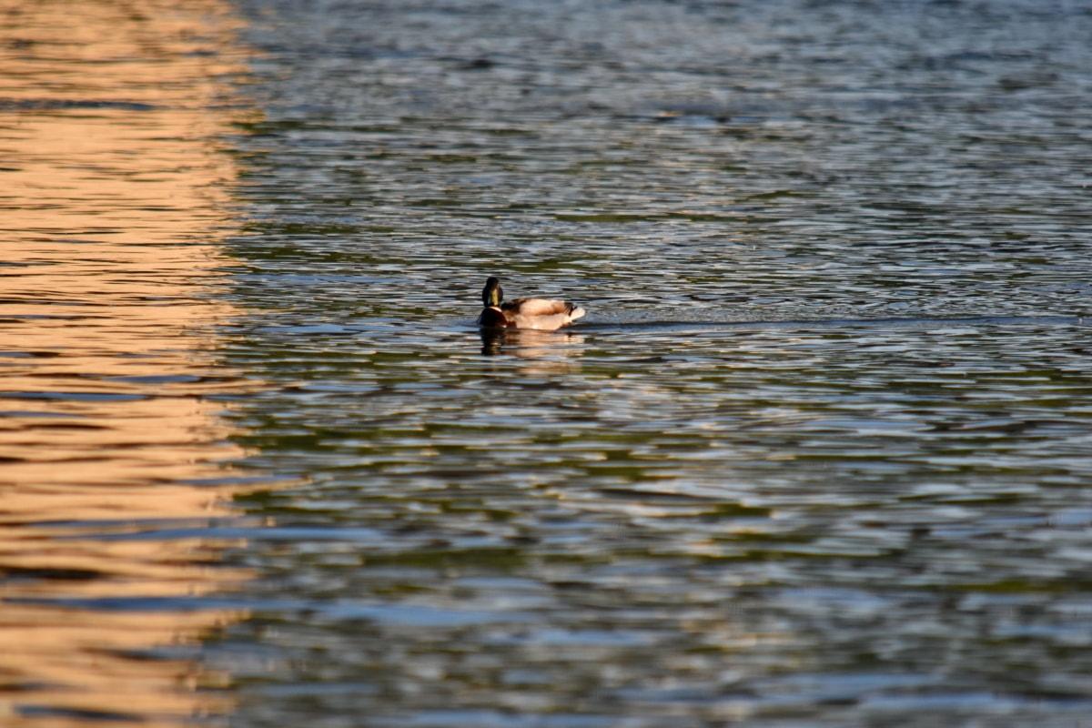 Pato-real, pôr do sol, água, reflexão, pássaro, Lago, pato, Rio, ao ar livre, aves aquáticas