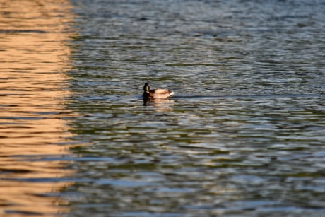 mallard, sunset, water, reflection, bird, lake, duck, river, outdoors, waterfowl